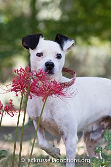 Jack Russell Terrier Dog for adoption in Conyers, Georgia - Cross