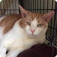 Domestic Shorthair Cat for adoption in Breinigsville, Pennsylvania - Molly