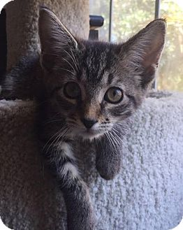 Domestic Shorthair Kitten for adoption in Gainesville, Florida - Yoko