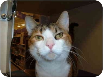 Calico Cat for adoption in No.Charleston, South Carolina - IZZY