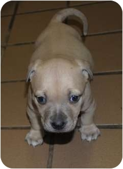American Pit Bull Terrier Puppy for adoption in Whitesville, Kentucky - Lil
