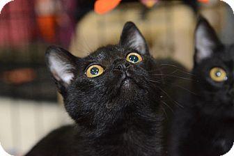 Domestic Shorthair Cat for adoption in Harrisburg, North Carolina - Kibble