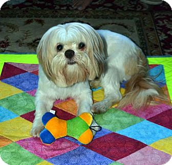 Lhasa Apso Dog for adoption in Los Angeles, California - BREEZY