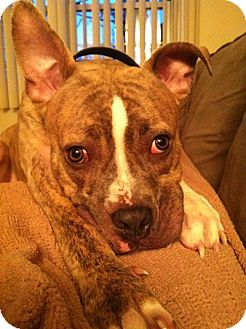 Boxer/American Staffordshire Terrier Mix Dog for adoption in Long Beach, New York - Tom