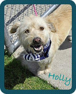 Lakeland Terrier Mix Dog for adoption in Corpus Christi, Texas - Holly Lakeland Terrier Rescue Texas