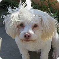Adopt A Pet :: **TEDDY** - Stockton, CA