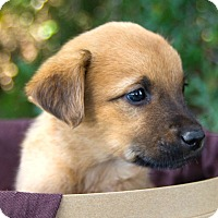 Adopt A Pet :: *Little Nikki - PENDING - Westport, CT