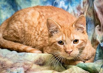 Domestic Shorthair Cat for adoption in Anna, Illinois - PATRICK