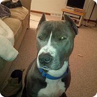 Adopt A Pet :: Blu-Dee - Kimberton, PA