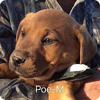 Adopt A Pet :: Poe - Albany, NY