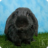 Lop, Holland for adoption in Pflugerville, Texas - Muse