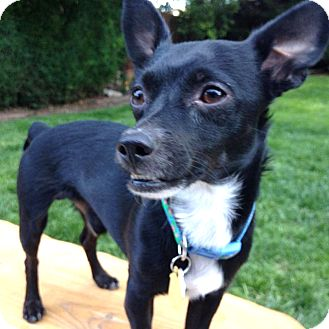 Chihuahua Mix Dog for adoption in Tijeras, New Mexico - Velcro