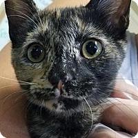 Calico Kitten for adoption in Freeport, Florida - Spitfire