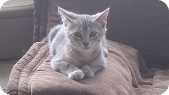 Domestic Shorthair Kitten for adoption in Haddon Twp., New Jersey - Freya