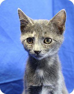 Domestic Shorthair Kitten for adoption in Winston-Salem, North Carolina - Zeva