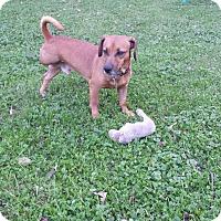 Dachshund Mix Dog for adoption in Aurora, Illinois - Archie