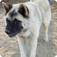 Akita Dog for adoption in Romoland, California - Sargeant