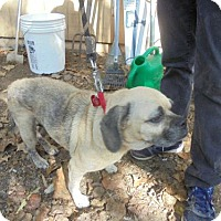 Pug/Beagle Mix Dog for adoption in Blairsville, Georgia - Maggie