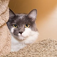 Adopt A Pet :: McFluffin - Palm Springs, CA