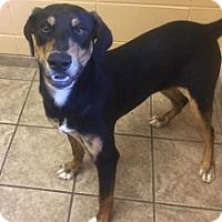 Hound (Unknown Type)/Doberman Pinscher Mix Puppy for adoption in Joplin, Missouri - Blade Vtg 110708