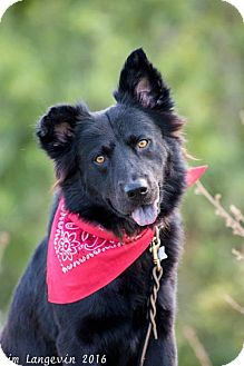 German Shepherd Dog/Border Collie Mix Dog for adoption in Bradenton, Florida - Marrok