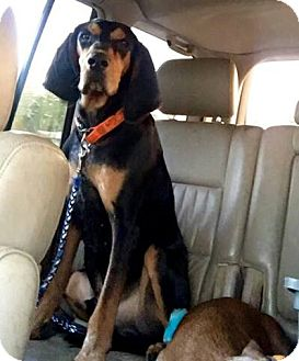 Black and Tan Coonhound Dog for adoption in Sweetwater, Tennessee - Boyd