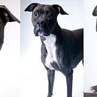 Adopt A Pet :: Zowey - Chicago, IL