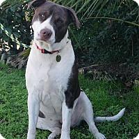 Adopt A Pet :: Sadie - Seattle, WA
