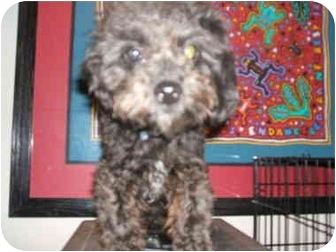 Poodle (Miniature) Mix Dog for adoption in SCOTTSDALE, Arizona - ROBIS PIERRE
