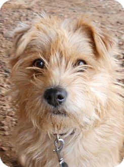 Terrier (Unknown Type, Small) Mix Dog for adoption in dewey, Arizona - Spirit