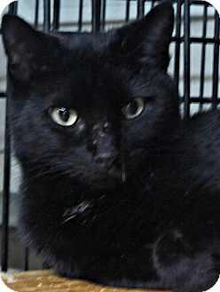 Domestic Shorthair Cat for adoption in Seminole, Florida - Ebony