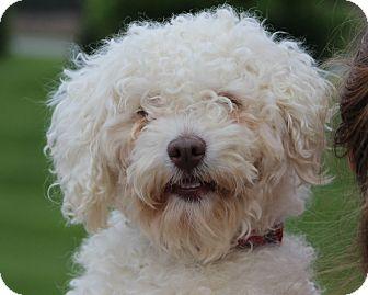 Bichon Frise/Poodle (Miniature) Mix Dog for adoption in Mount Gretna ...