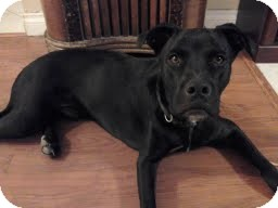 Labrador Retriever Mix Dog for adoption in Las Vegas, Nevada - Teo