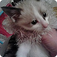 Adopt A Pet :: Mishkin - Sterling Hgts, MI