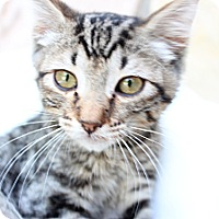 Adopt A Pet :: Sawyer - Santa Monica, CA