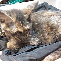 Adopt A Pet :: Pawn - Phoenix, AZ