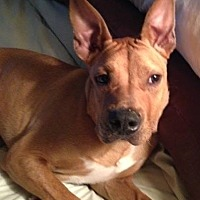 Boxer/Terrier (Unknown Type, Medium) Mix Dog for adoption in Rockaway, New Jersey - EJ