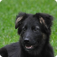 Adopt A Pet :: Ziva - Dripping Springs, TX
