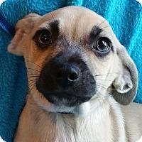 Adopt A Pet :: YANKEE - Allentown, PA