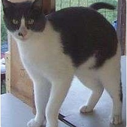 Photo 2 - Domestic Shorthair Cat for adoption in Andover, Kansas - Remmi