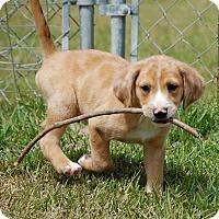 Adopt A Pet :: Archer - Manning, SC