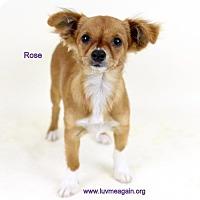 Adopt A Pet :: Rose - Bloomington, MN