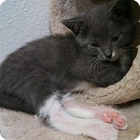 Adopt A Pet :: Merlin - Scottsdale, AZ