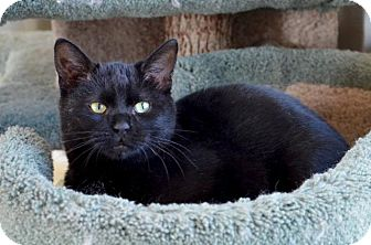 Domestic Shorthair Cat for adoption in Midland, Texas - Buttons