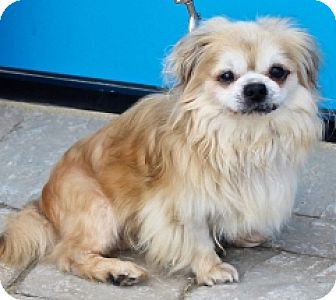Pekingese Dog for adoption in Albany, New York - BUTTONS