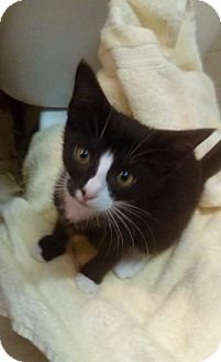 Domestic Shorthair Kitten for adoption in Brooklyn, New York - Ava