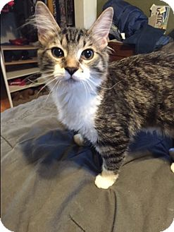 Domestic Mediumhair Kitten for adoption in Santa Clara, California - Kitten: Tabby