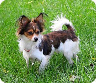 Chihuahua/Papillon Mix Dog for adoption in Omaha, Nebraska - Tristan