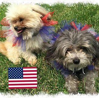 Poodle (Miniature)/Pomeranian Mix Dog for adoption in Princeton, Minnesota - Nike **ADOPTION PENDING**