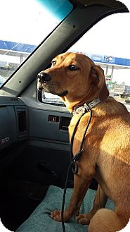 Coonhound Mix Dog for adoption in Clarkson, Kentucky - Sassy